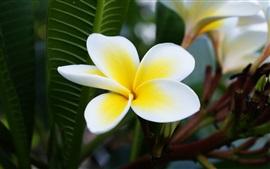 Plumeria macro fotografía, blanco y amarillo