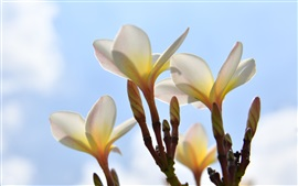 Preview wallpaper Plumeria under the blue sky
