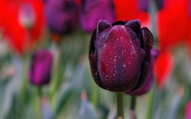Preview wallpaper Purple tulip close-up, water drops