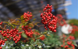 Red berries, wild fruits