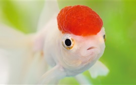Preview wallpaper Red head goldfish