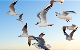 Preview wallpaper Seagulls flying
