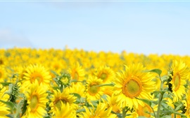 Sunflowers fields, blue sky, summer