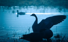 Swan in lake at dusk, wings