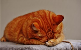 Preview wallpaper Tabby cat sleeping