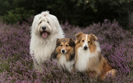 Preview wallpaper Three dogs in lavender flowers