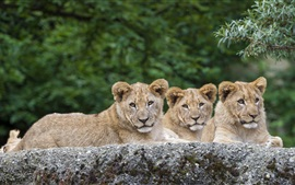 Preview wallpaper Three lions have a rest, animals photography