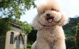 Preview wallpaper Toy poodle, cute puppy