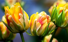 Preview wallpaper Tulips macro photography, yellow pink petals