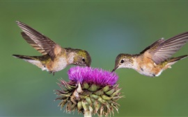 Two Hummingbirds, purple flower