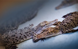 Preview wallpaper Two baby crocodiles
