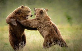 Two bears playful in grass