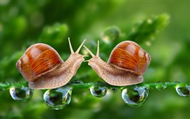 Two snails, face to face, water drops