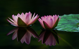 Preview wallpaper Two water lily flowers, pink petals, leaf, water reflection
