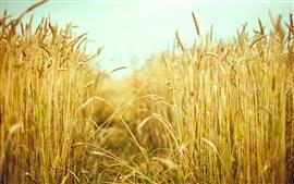 Aperçu fond d'écran Champ de blé, été, macro photographie