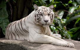 Preview wallpaper White tiger have a rest