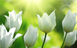Preview wallpaper White tulips flowers in spring