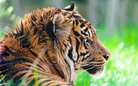 Дикие животные, тигр в траве