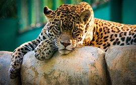 Wild cat jaguar have a rest