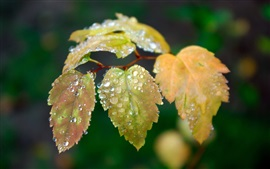 Yellow leaves, dew, black background