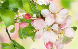 Preview wallpaper Apple flowers, tree, twigs
