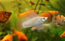 Aquarium, water, orange and white fish