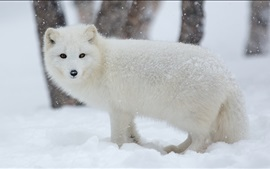 Preview wallpaper Arctic fox in snow winter