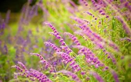 미리보기 배경 화면 아름 다운 핑크 세이지 꽃, 봄