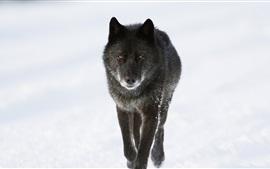 Черный волк в зимний период