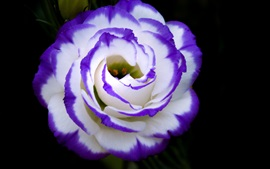 Preview wallpaper Blue white petals rose flower close-up