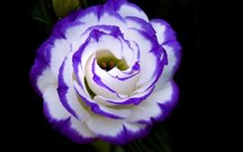 壁紙のプレビュー ブルー白い花びらは、花のクローズアップバラ