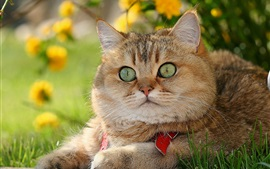 Aperçu fond d'écran British Shorthair, beau chat