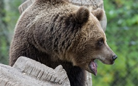 Preview wallpaper Brown bear, face, mouth