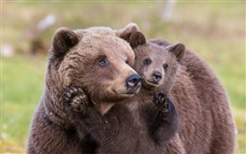 Brown bears, mother and cub