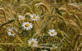 Chamomile flowers in wheat field