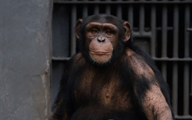 Preview wallpaper Chimpanzee in the zoo