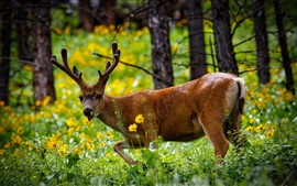 Preview wallpaper Deer in forest, summer, grass, flowers, Yellowstone National Park, USA