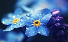 Preview wallpaper Forget-me-nots blue flowers macro photography, dew