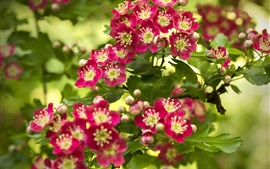 Preview wallpaper Hawthorn flowering, red flowers, spring