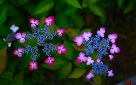 Hydrangea, inflorescência, rosa e flores azuis