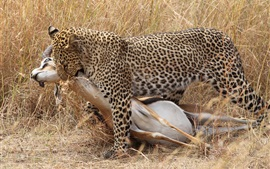 Leopard hunting, grass