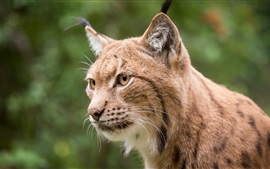 Preview wallpaper Lynx face close-up, yellow eyes, whiskers