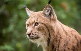 Lynx cara primer plano, ojos amarillos, bigotes