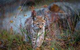 Lynx ходить в траве, дикая кошка, хищник