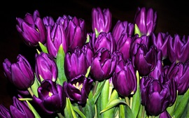 Many purple tulips, flowers close-up, black background