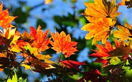 Preview wallpaper Maple leaves, red and yellow, autumn