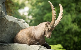 Preview wallpaper Mountain goat, ibex, claw