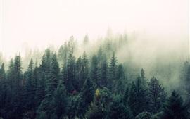 Nature, forêt, arbres, pins, brouillard