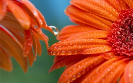 Orange petals, gerbera, flowers close-up, water droplets