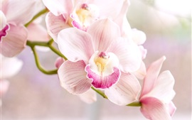 Preview wallpaper Orchid, pink phalaenopsis